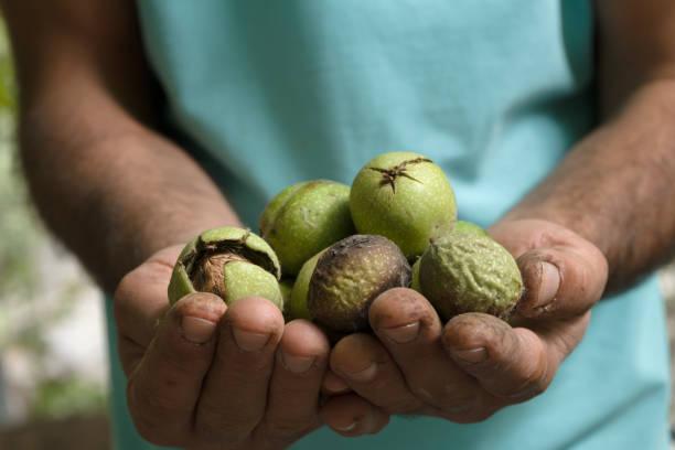 молодые грецкие орехи